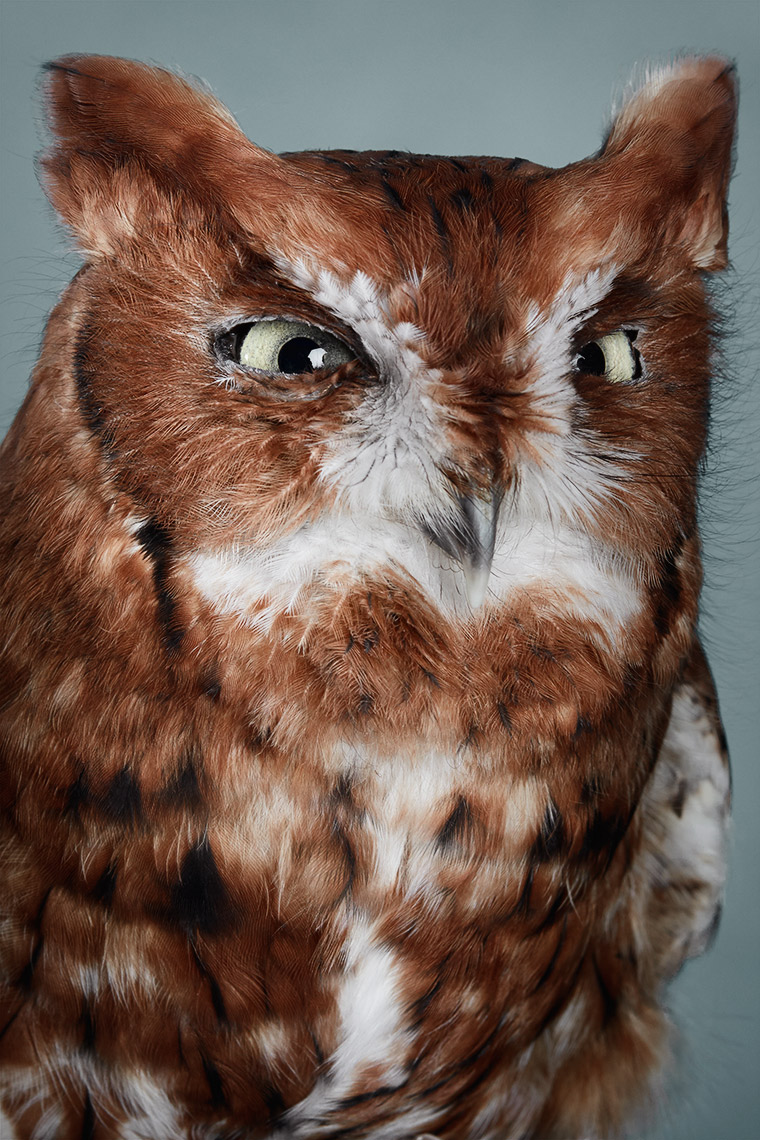 Red Screech Owl Portrait