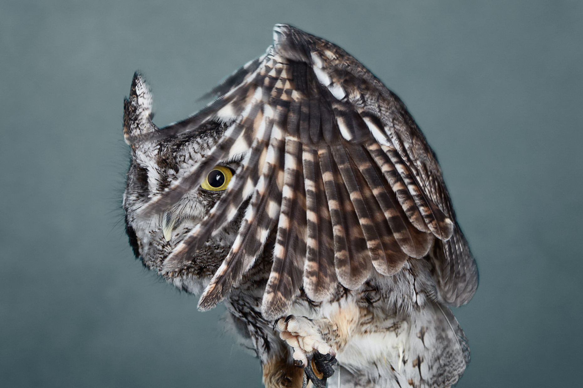 Screech Owl peering through its wing