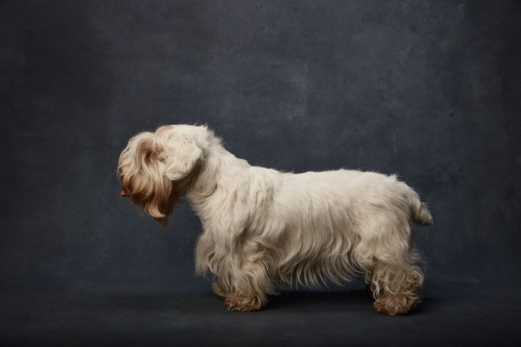 Sealyham_Terrier_010