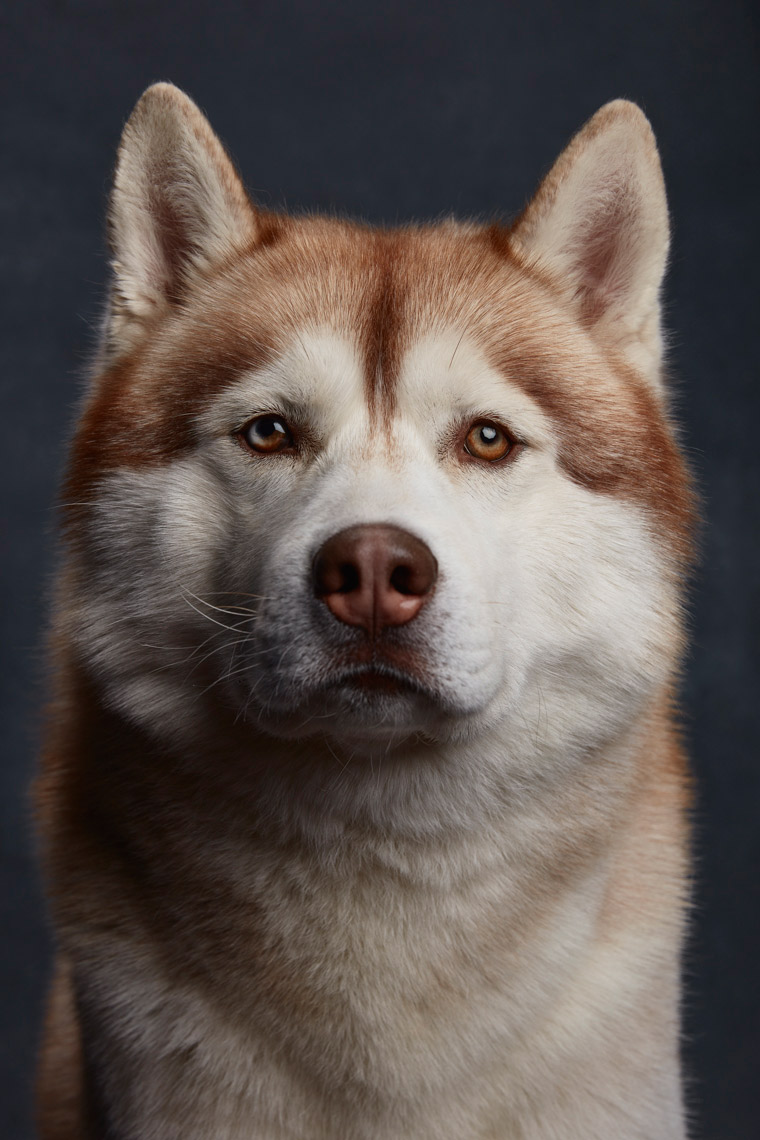Portrait of a Siberian Husky by Ty Foster
