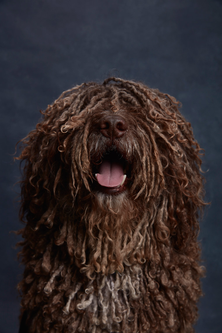 Portrait of a Spanish Water Dog