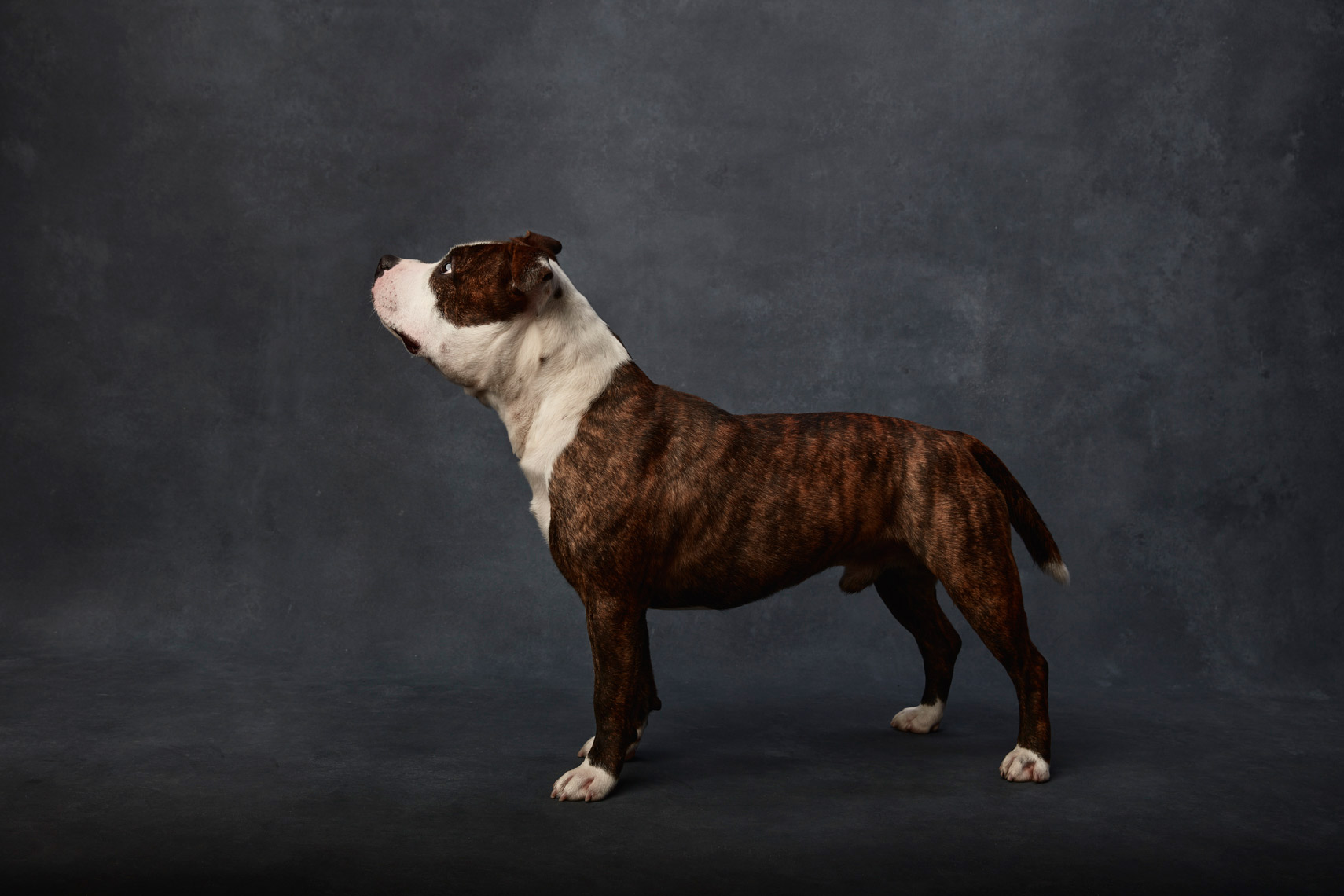 Stafordshire_Terrier_0007-1