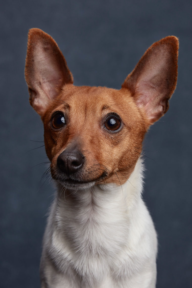 Toy_Fox_Terrier_009