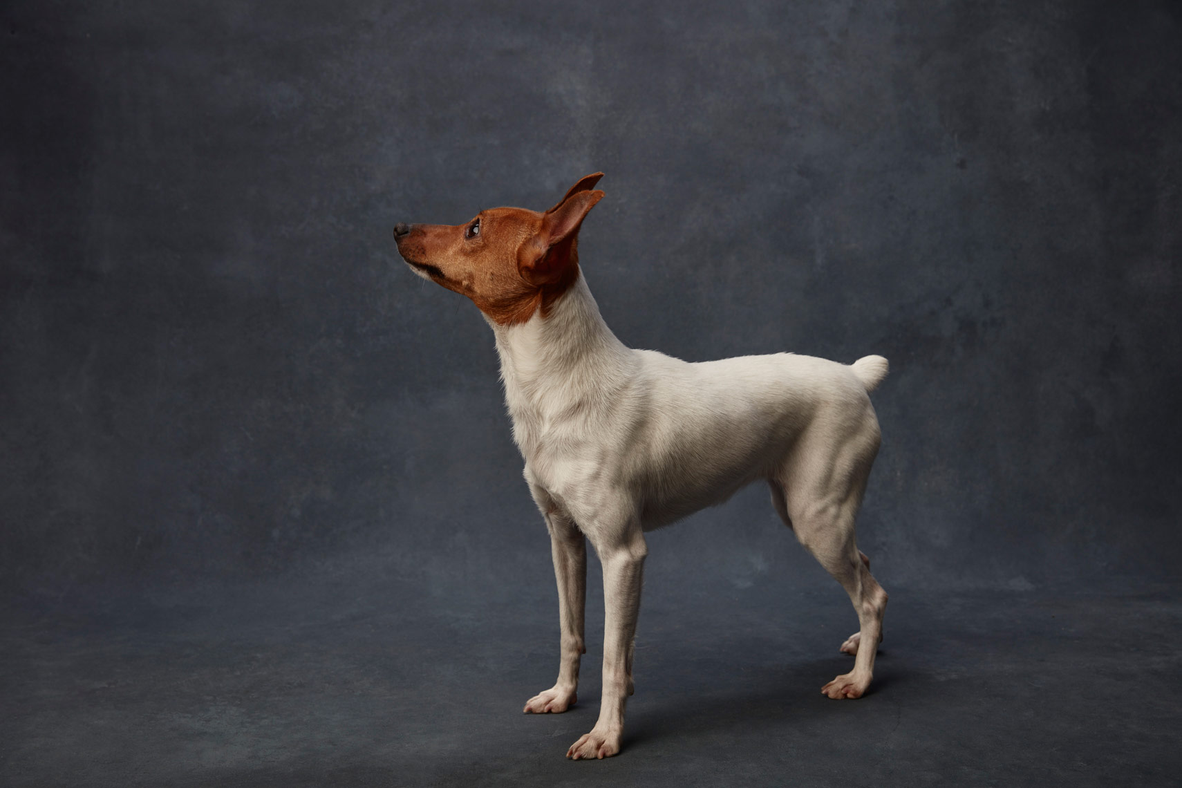 Toy_Fox_Terrier_012