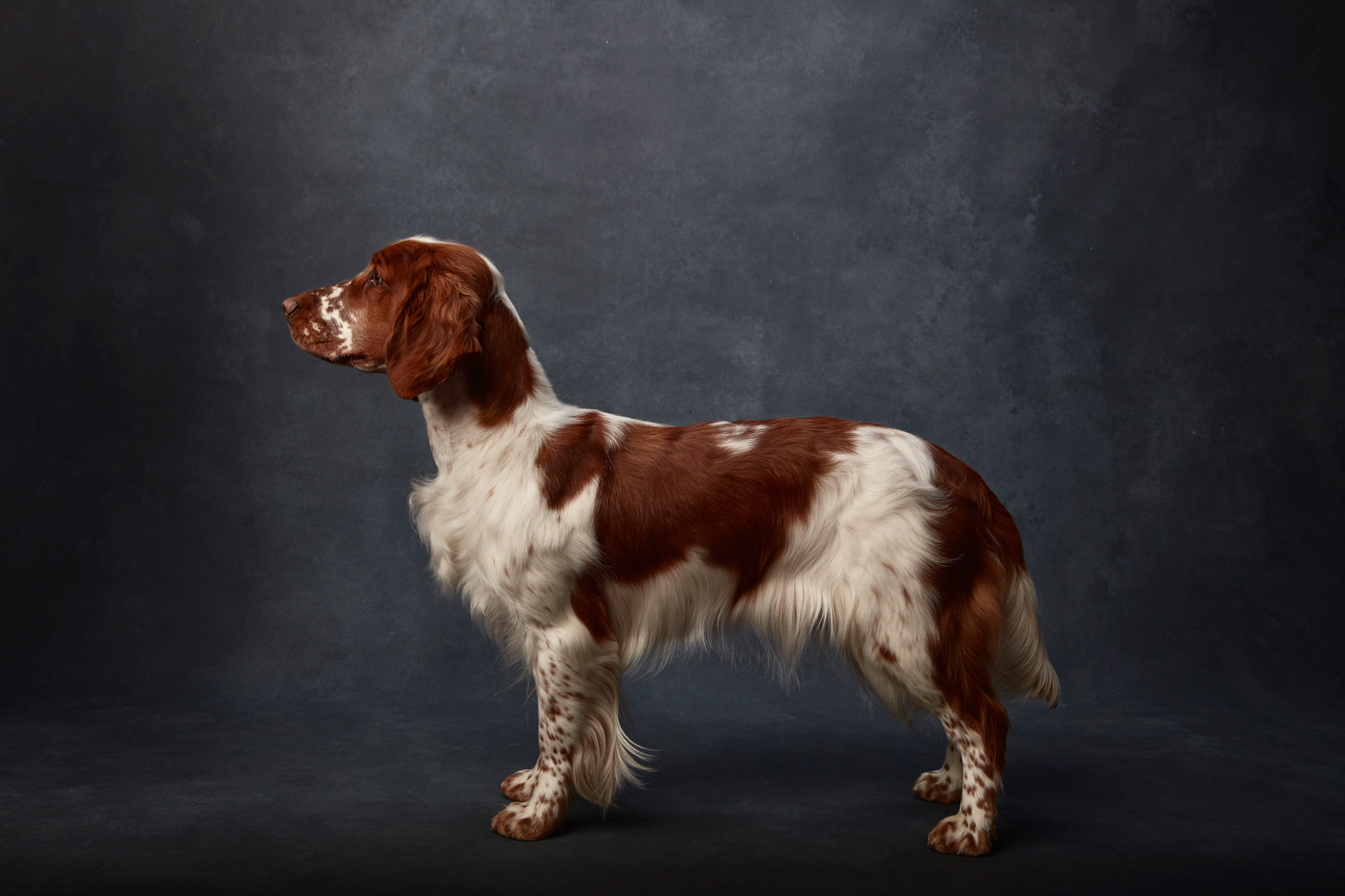 Welsh_Springer_Spaniel_009