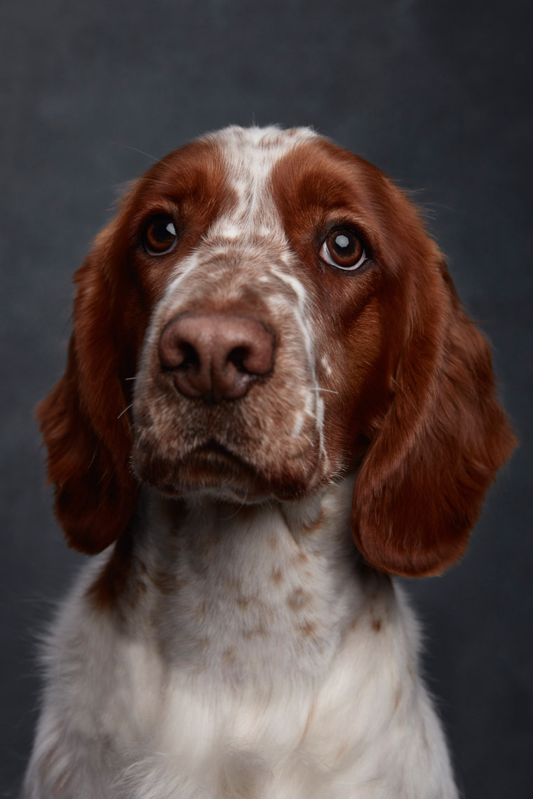 Welsh_Springer_Spaniel_019