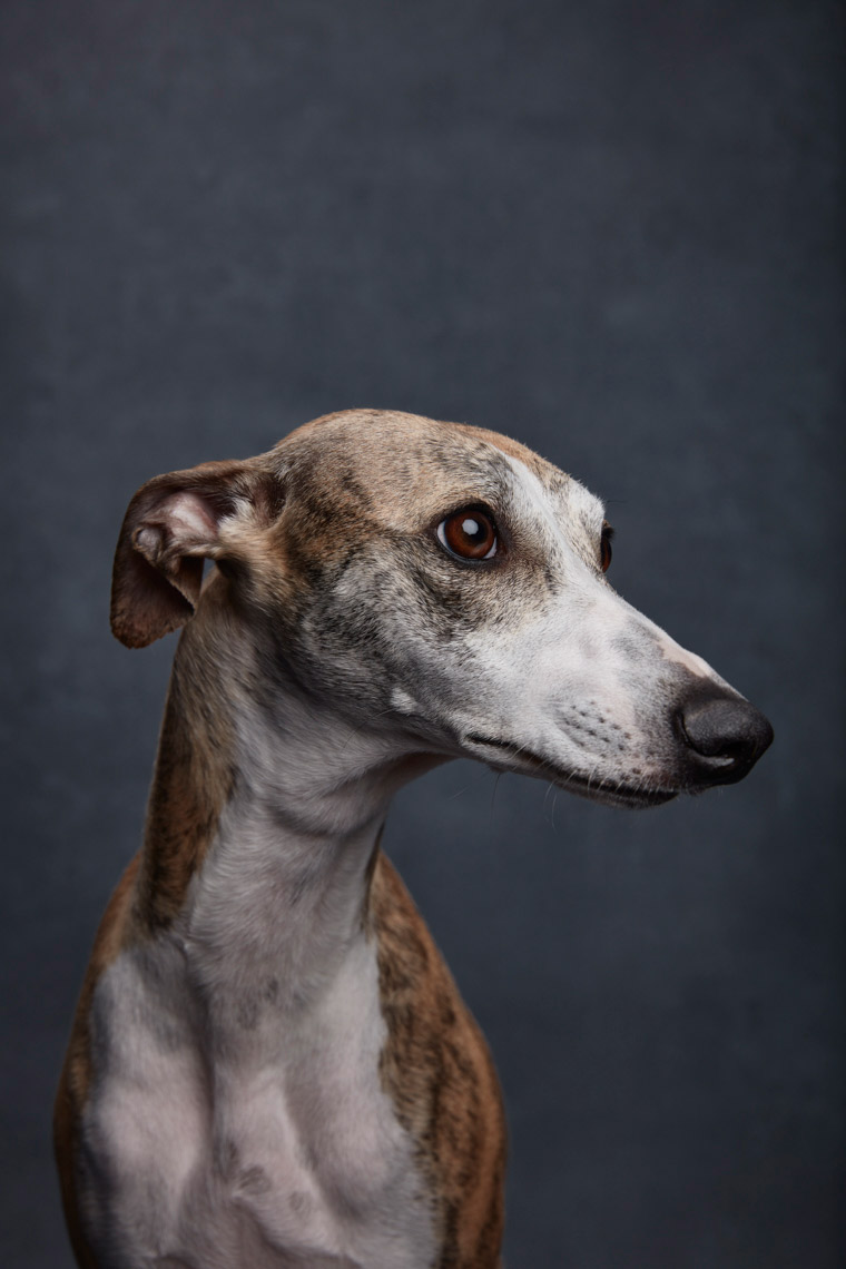 A portrait of a  female Whippet