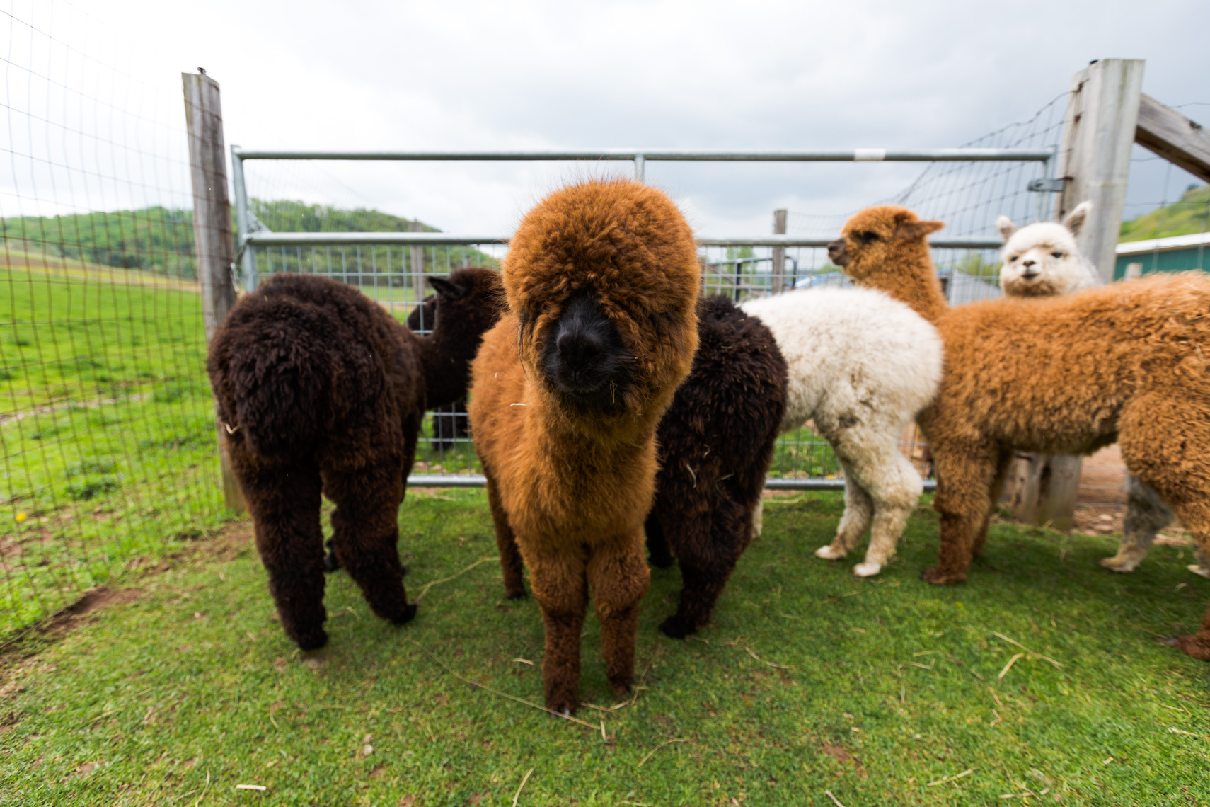 Crias on an alpaca farm