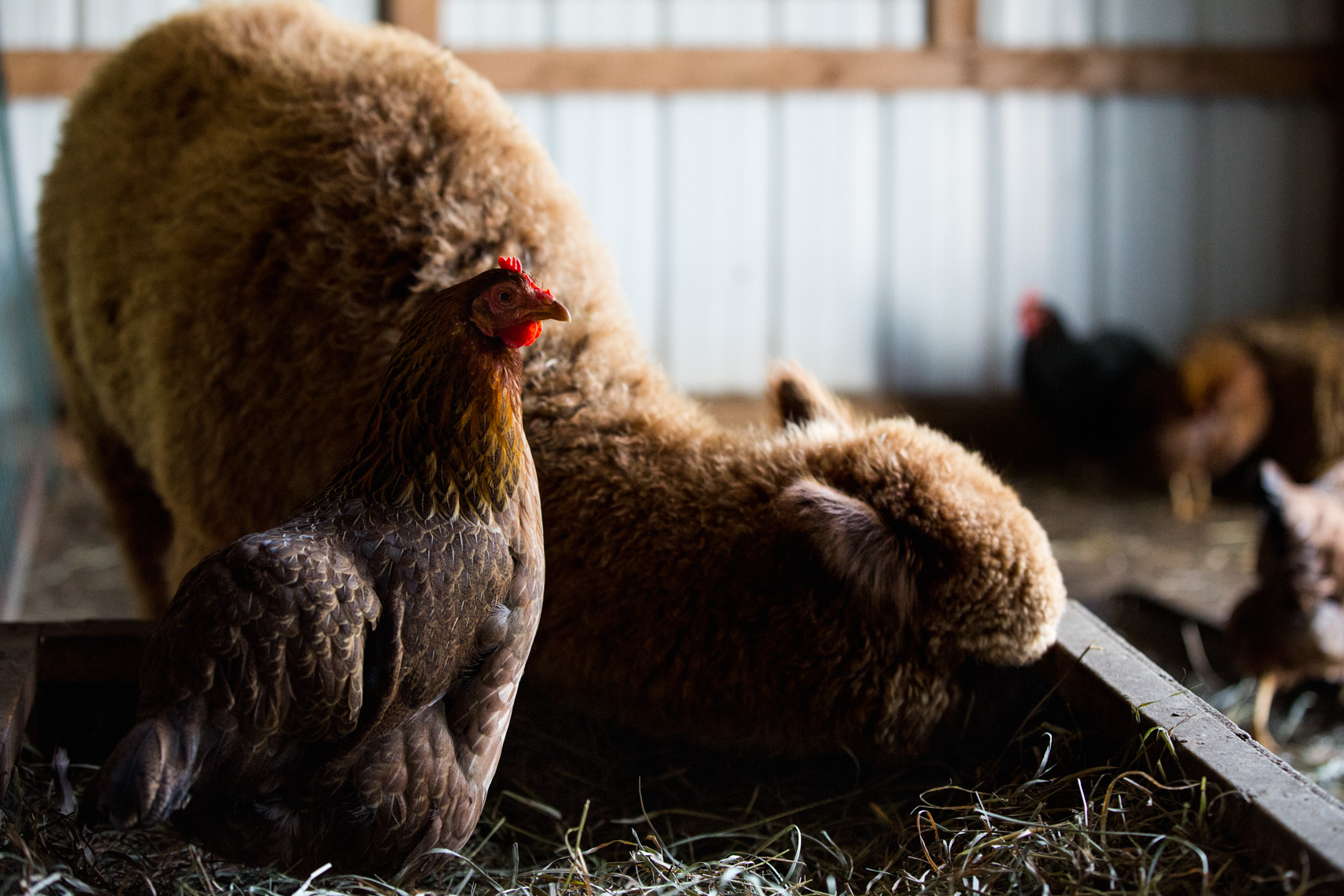 Chicken and Alpaca in a barn