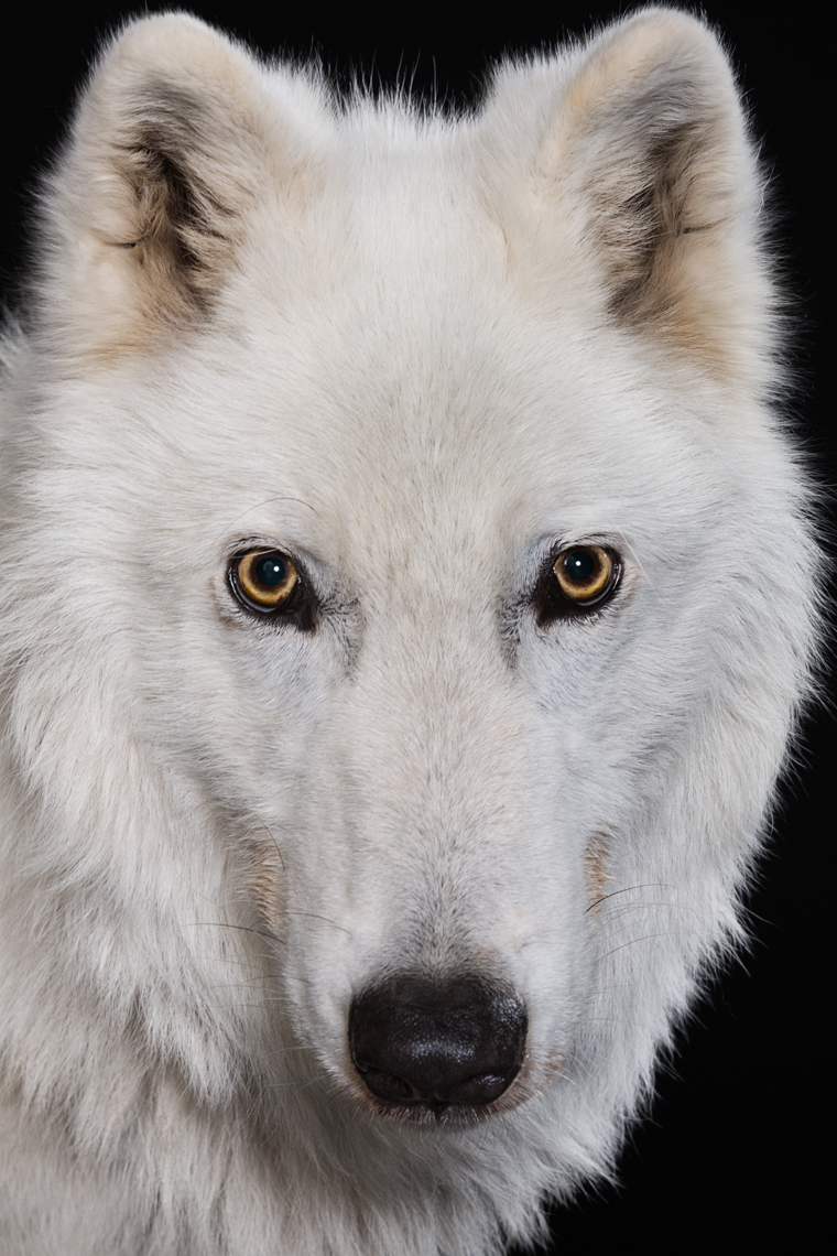 Portrait of an Arctic Wolf in Studio