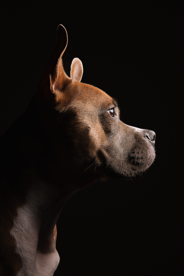 Pit bull portrait on black