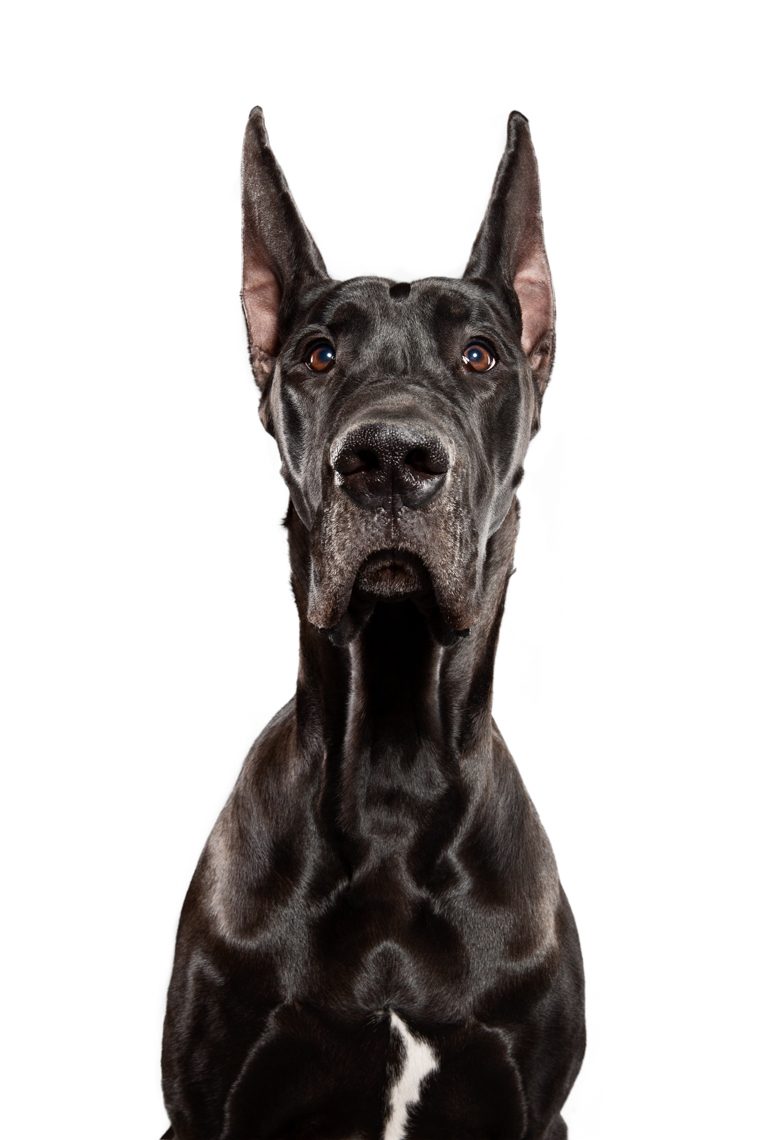 Great Dane female show dog