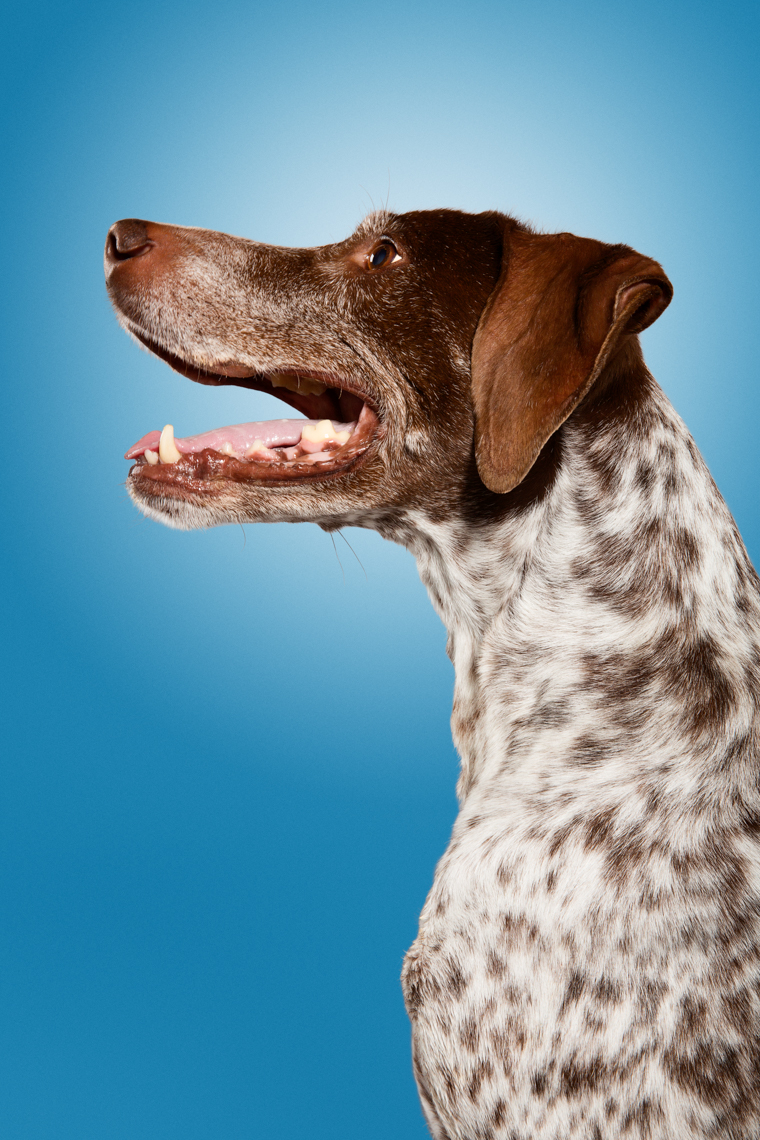 Happy German Shorthaired Pointer