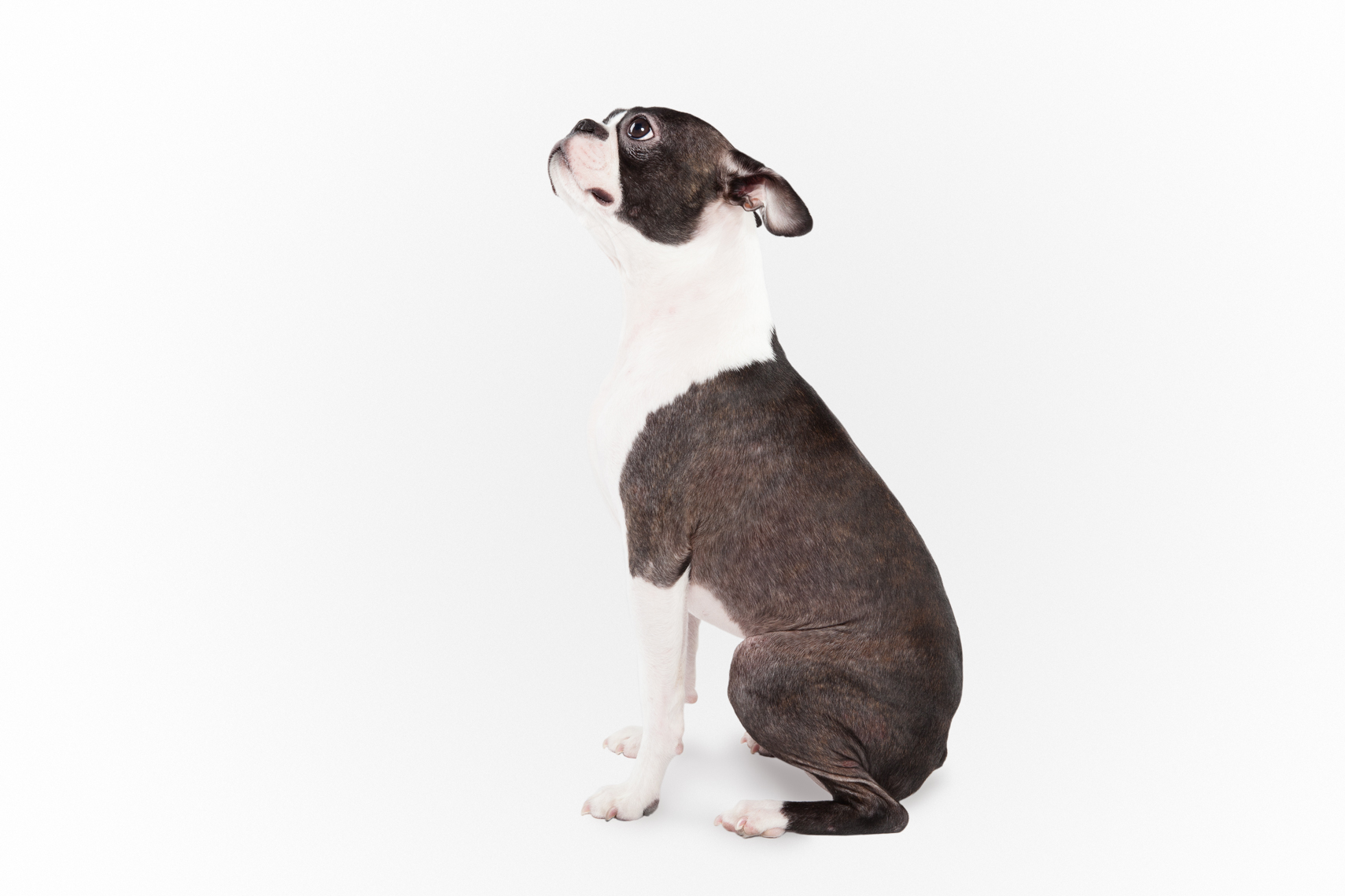 Profile of a Boston Terrier