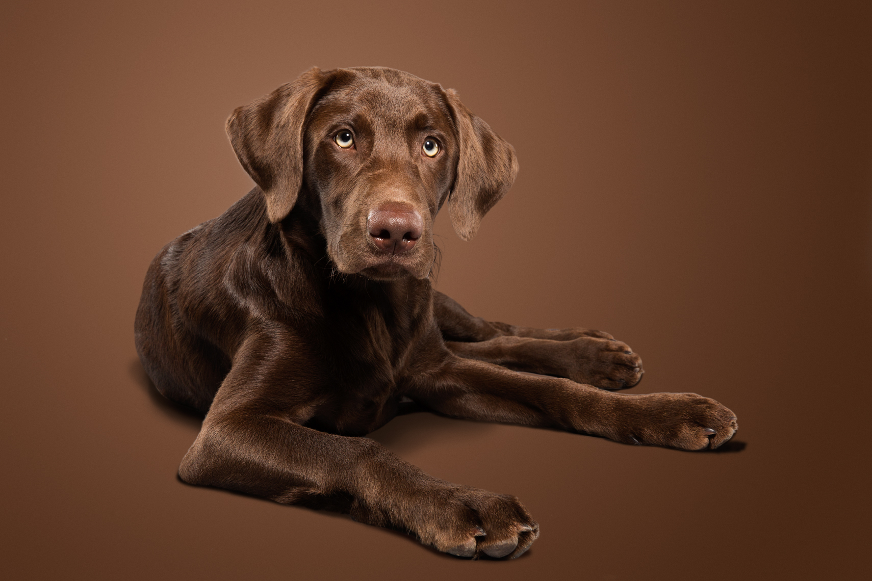 Chocolate lab puppy laying on the ground
