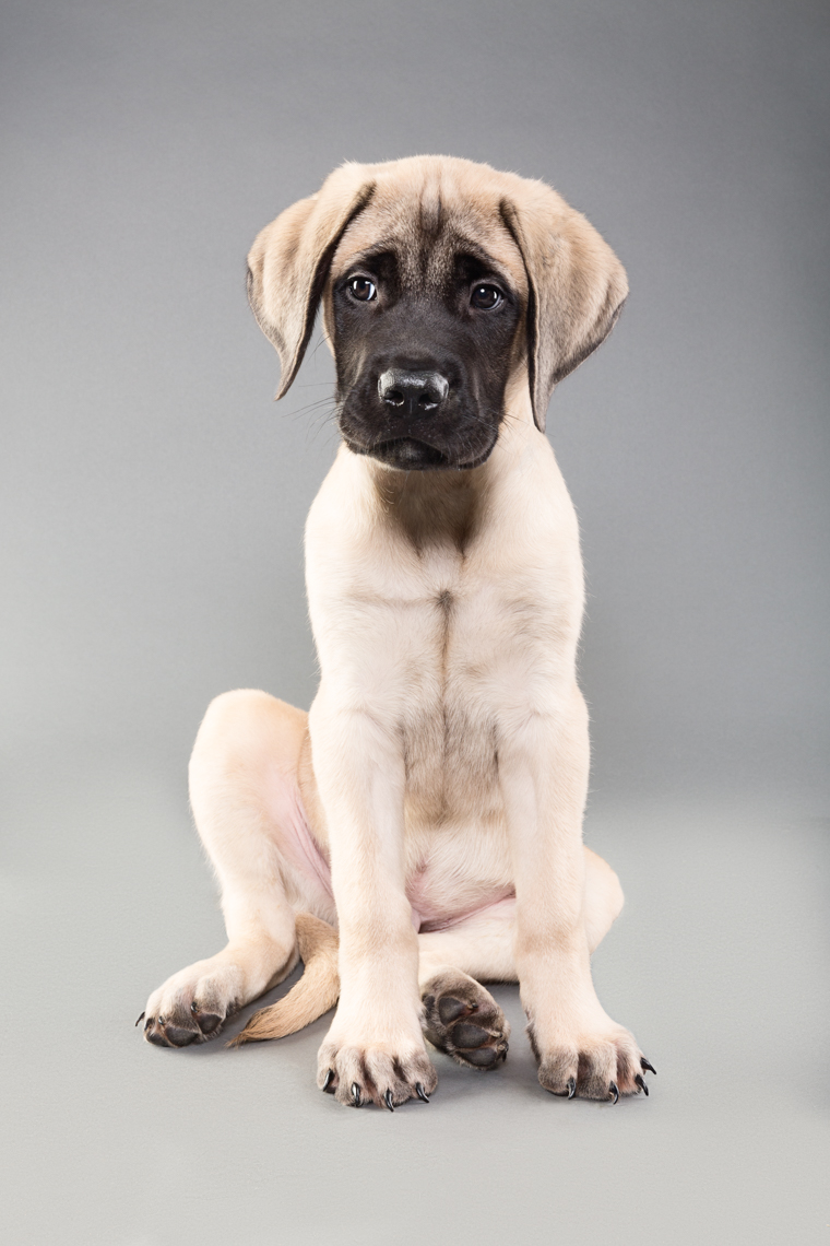 Mastiff Puppy sitting for his picture