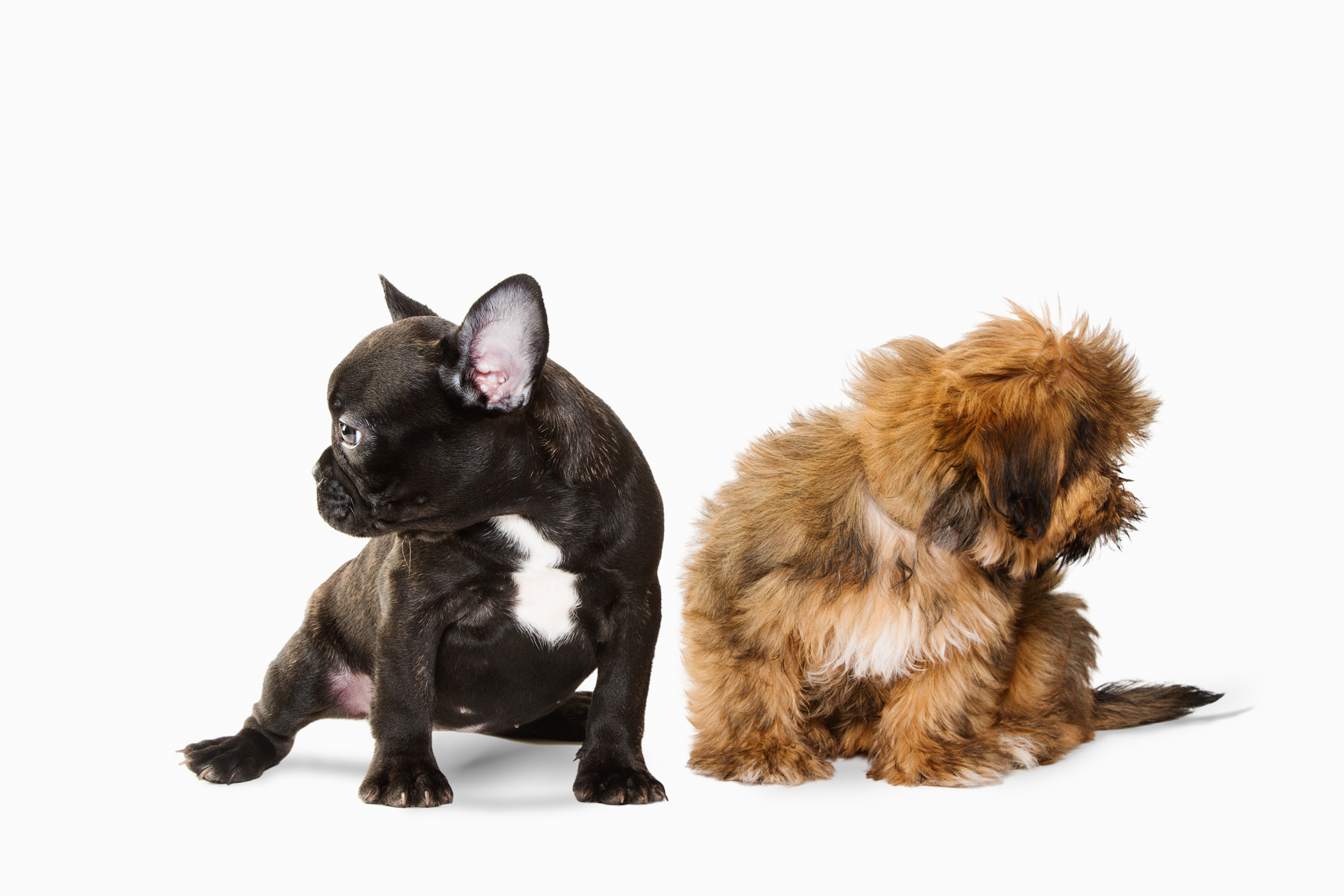 French Bulldog and Shorkie puppy together in a studio