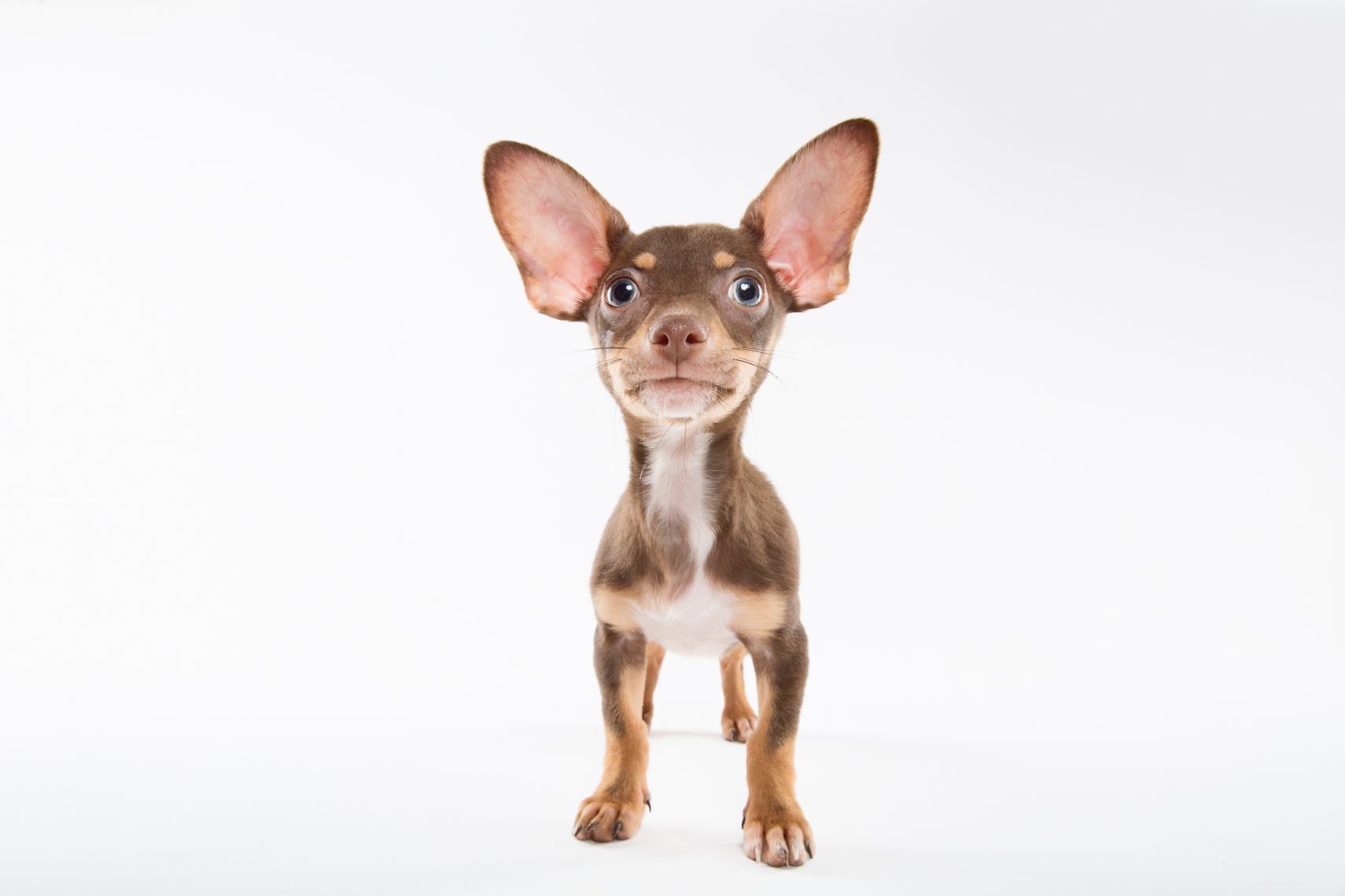 A chihuahua  in a white studio having his portrait taken