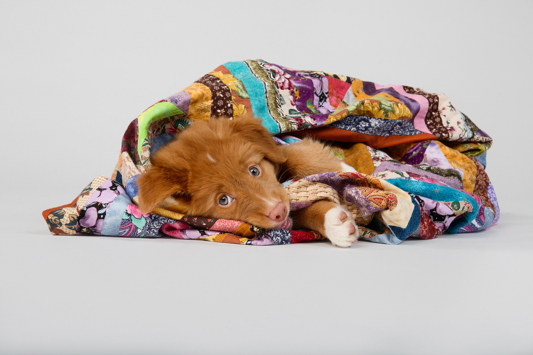 A puppy wrapped up in a blanket in studio
