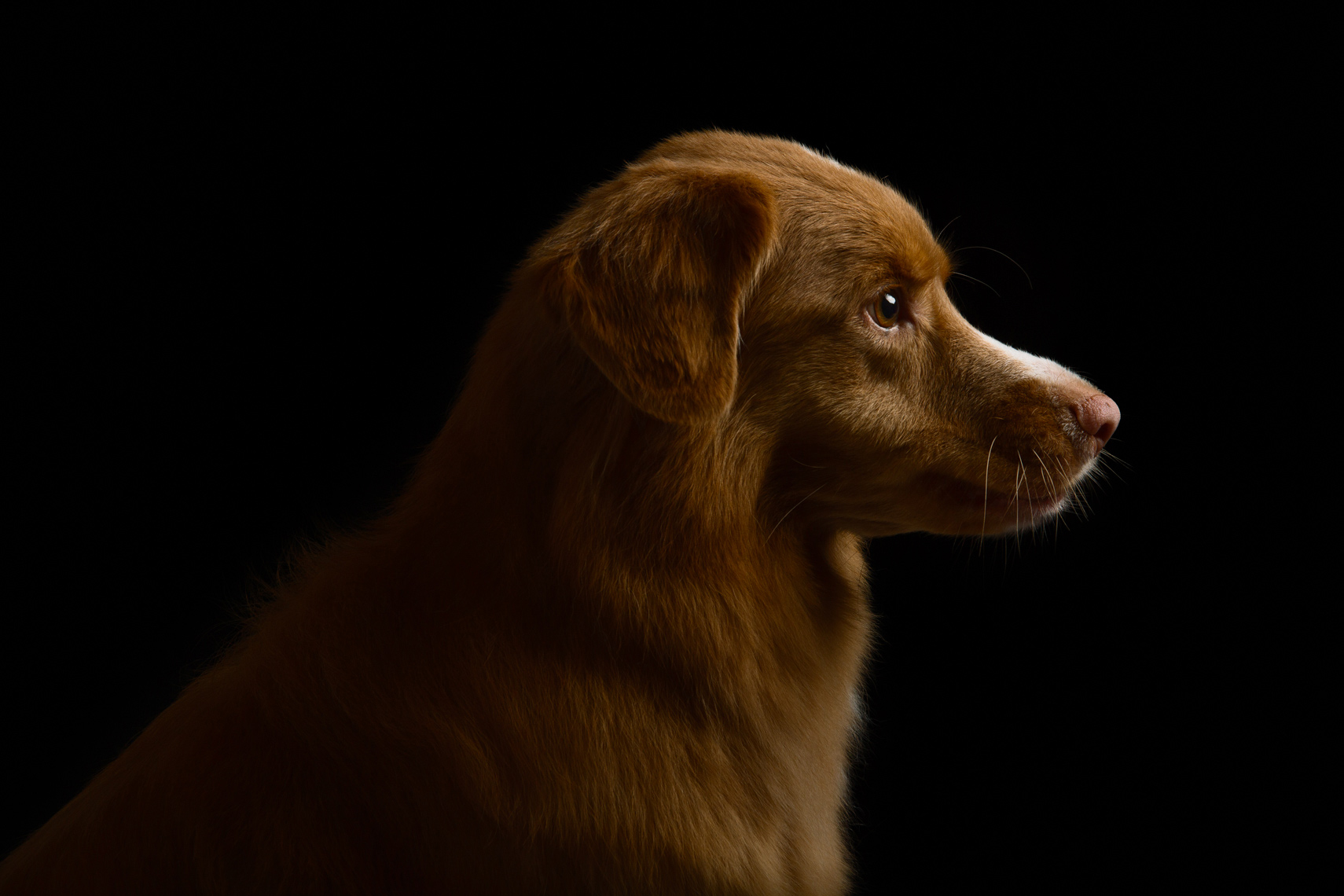 Nova Scotia Duck Tolling Retriever portrait