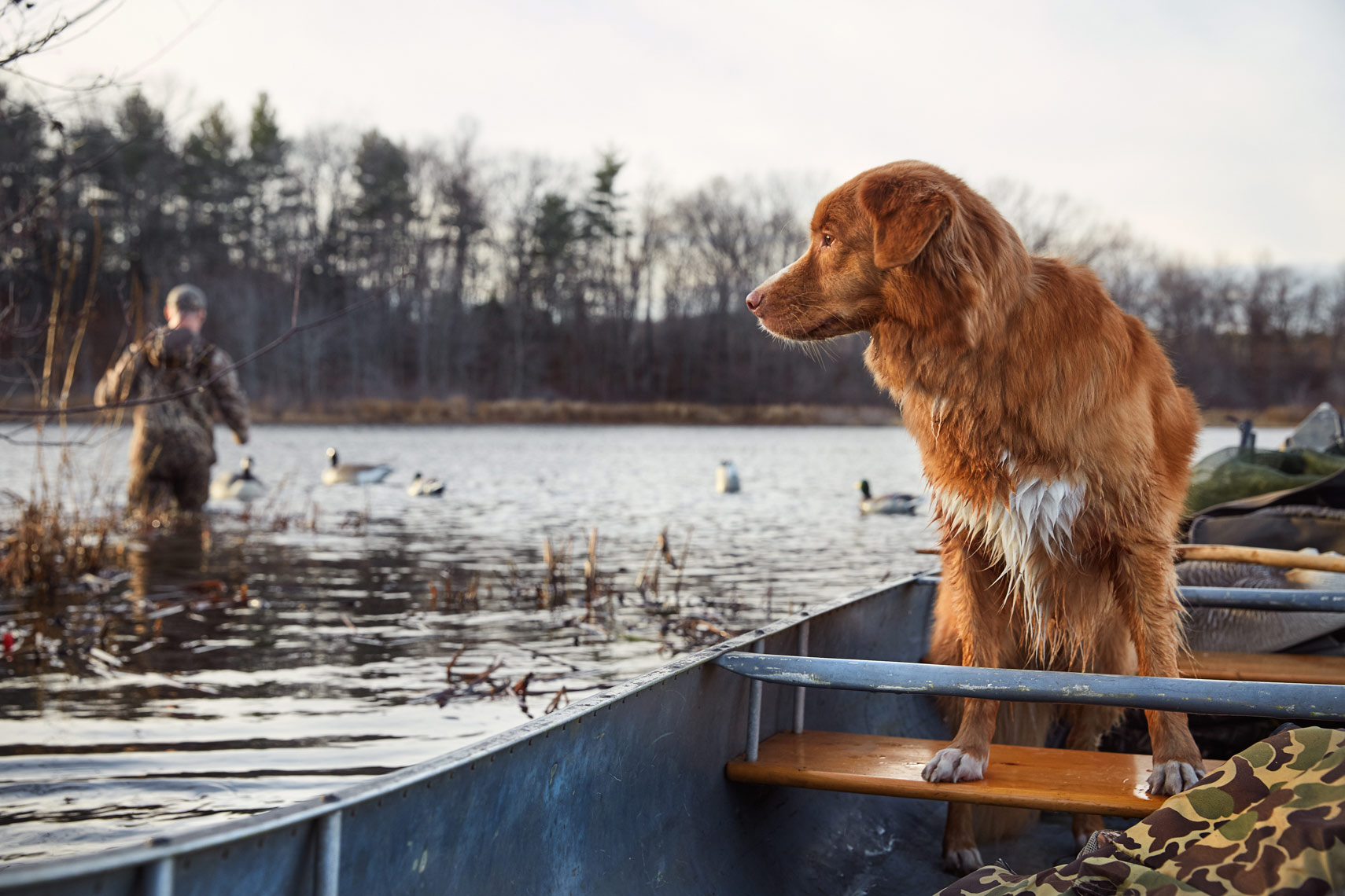 Nova Scotia duck toller in a canoe
