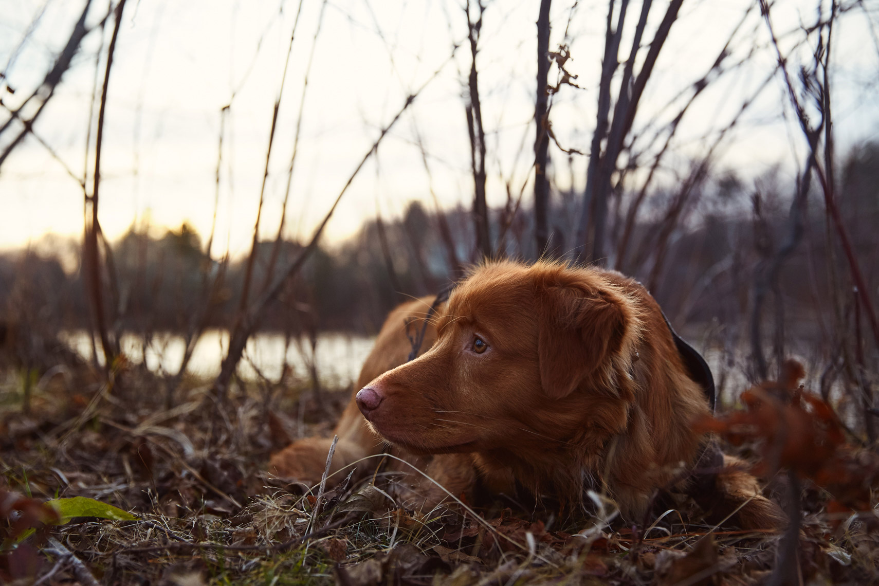 Duck toller at sunset
