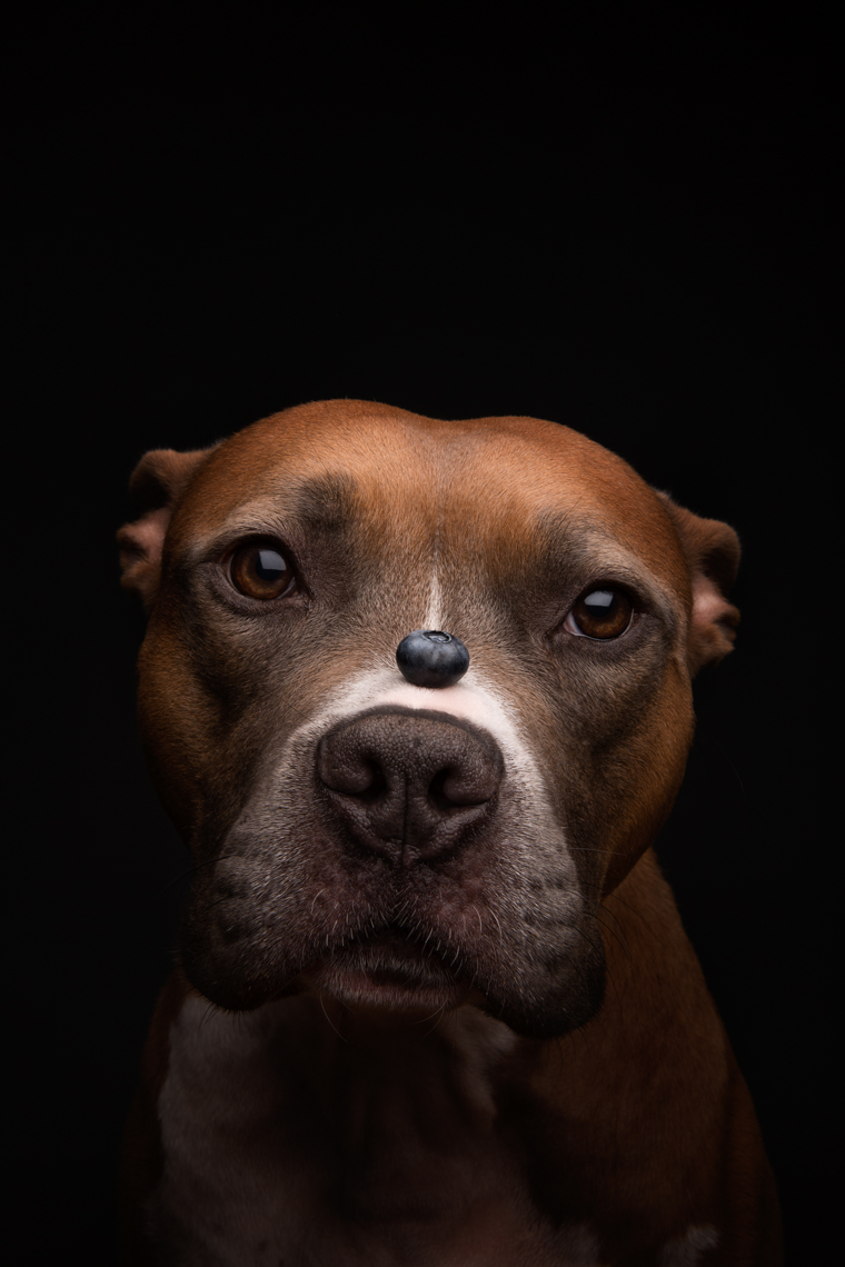 Fruit Series: Pit bull with a blueberry on his nose