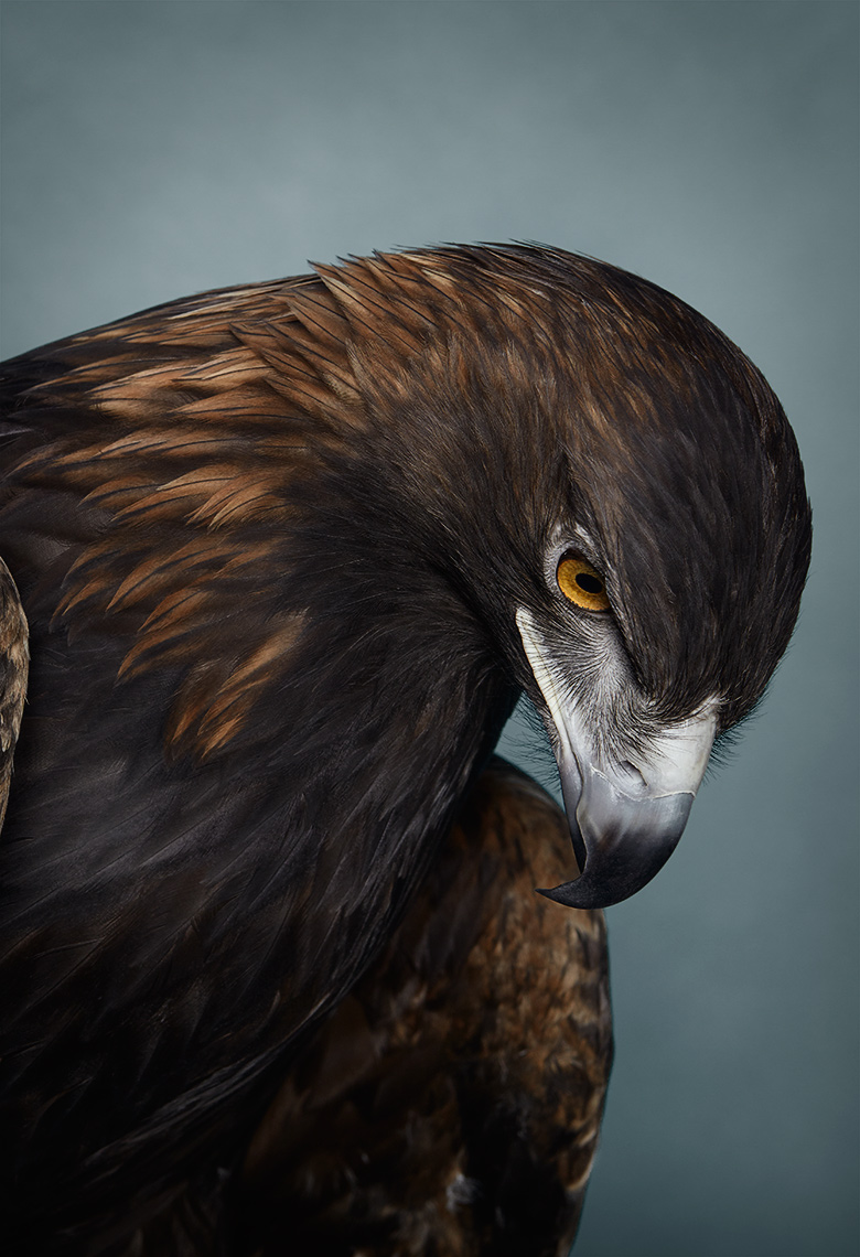 Portrait of a rehabilitated Golden Eagle