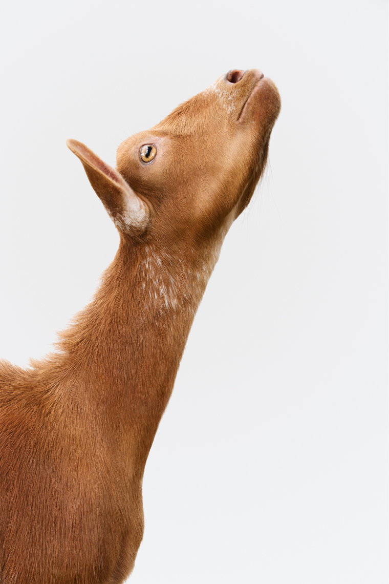 A dwarf Nigerian goat stretching his neck in a studio