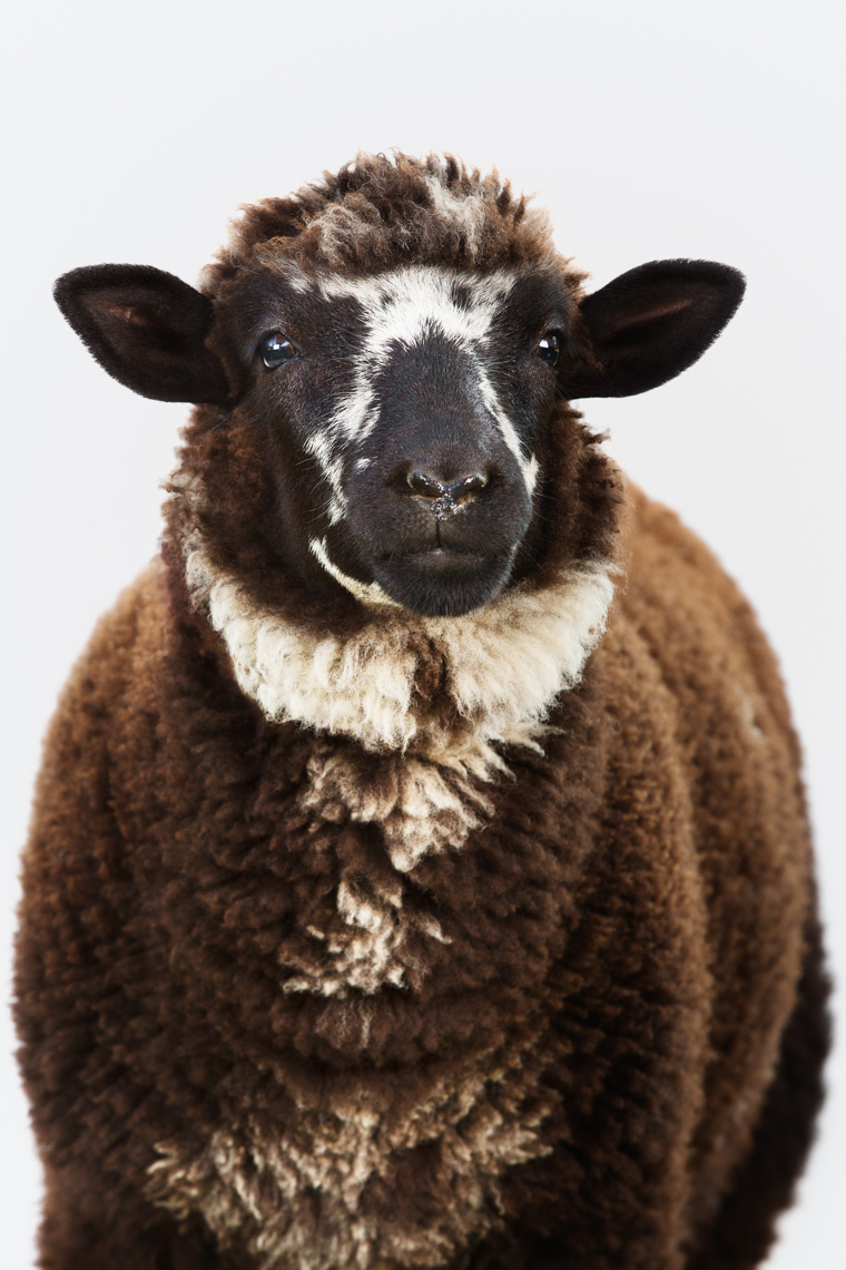 Heritage breed Jacob Sheep