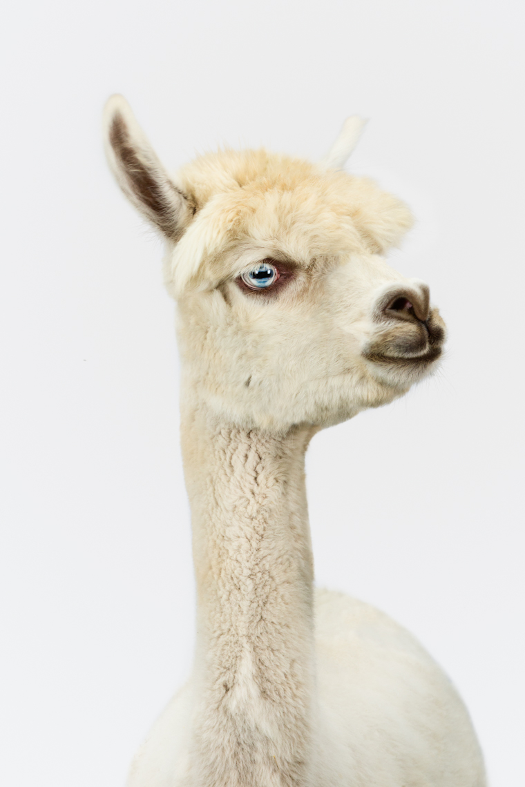 Alpaca on white