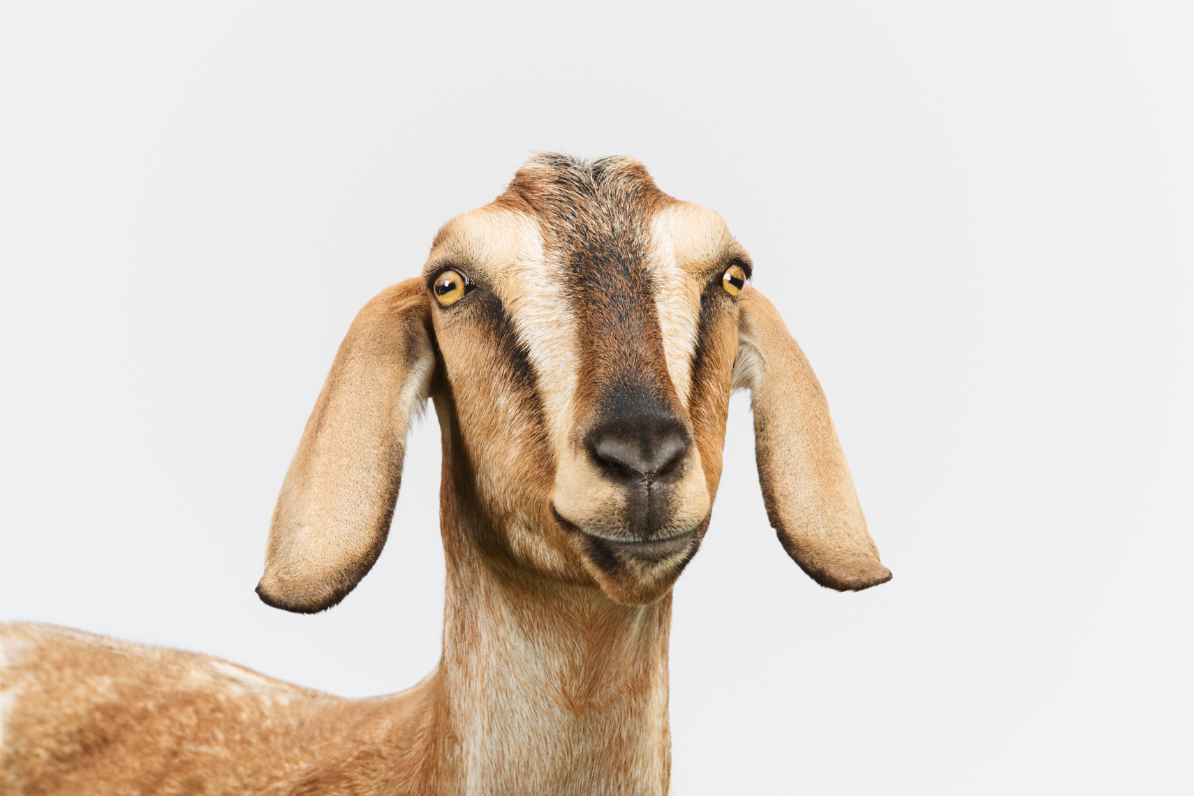 Nubian Goat on white