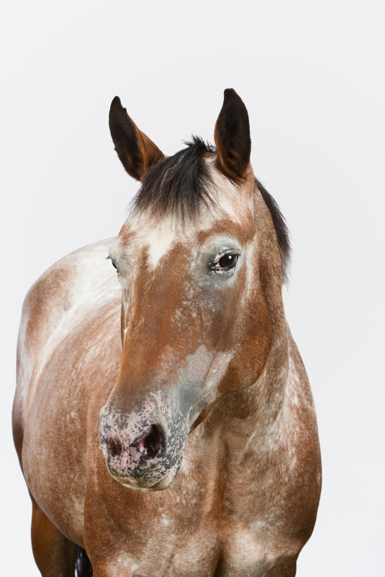 Appaloosa Horse on white