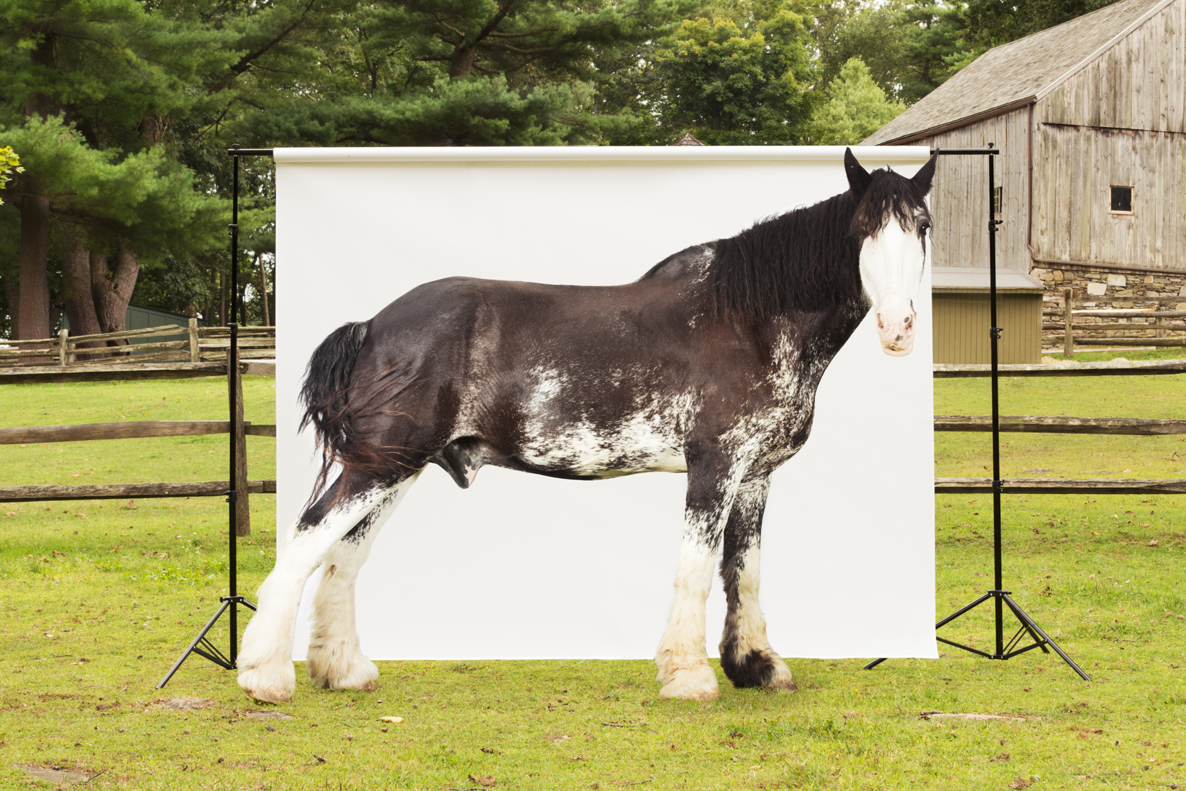clydesdale horse being photographed on a farm