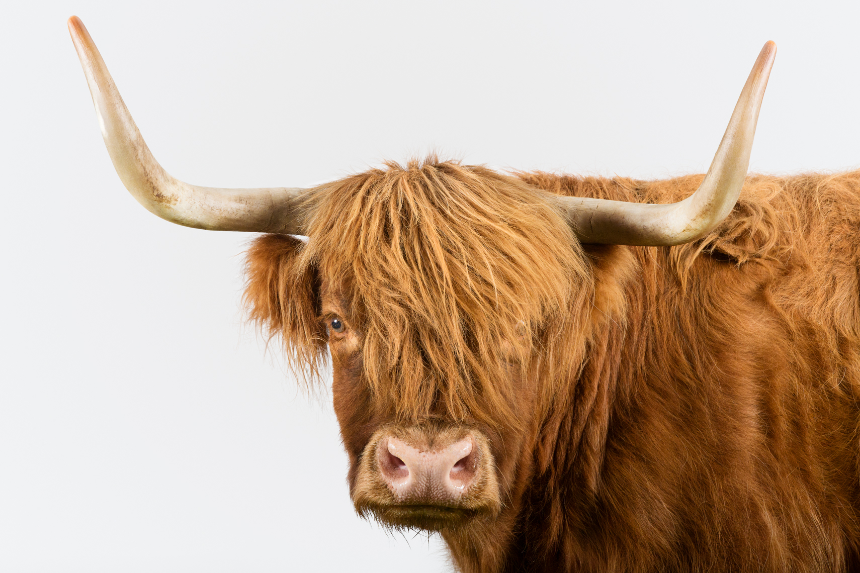 Portrait of a Scottish Highland cow