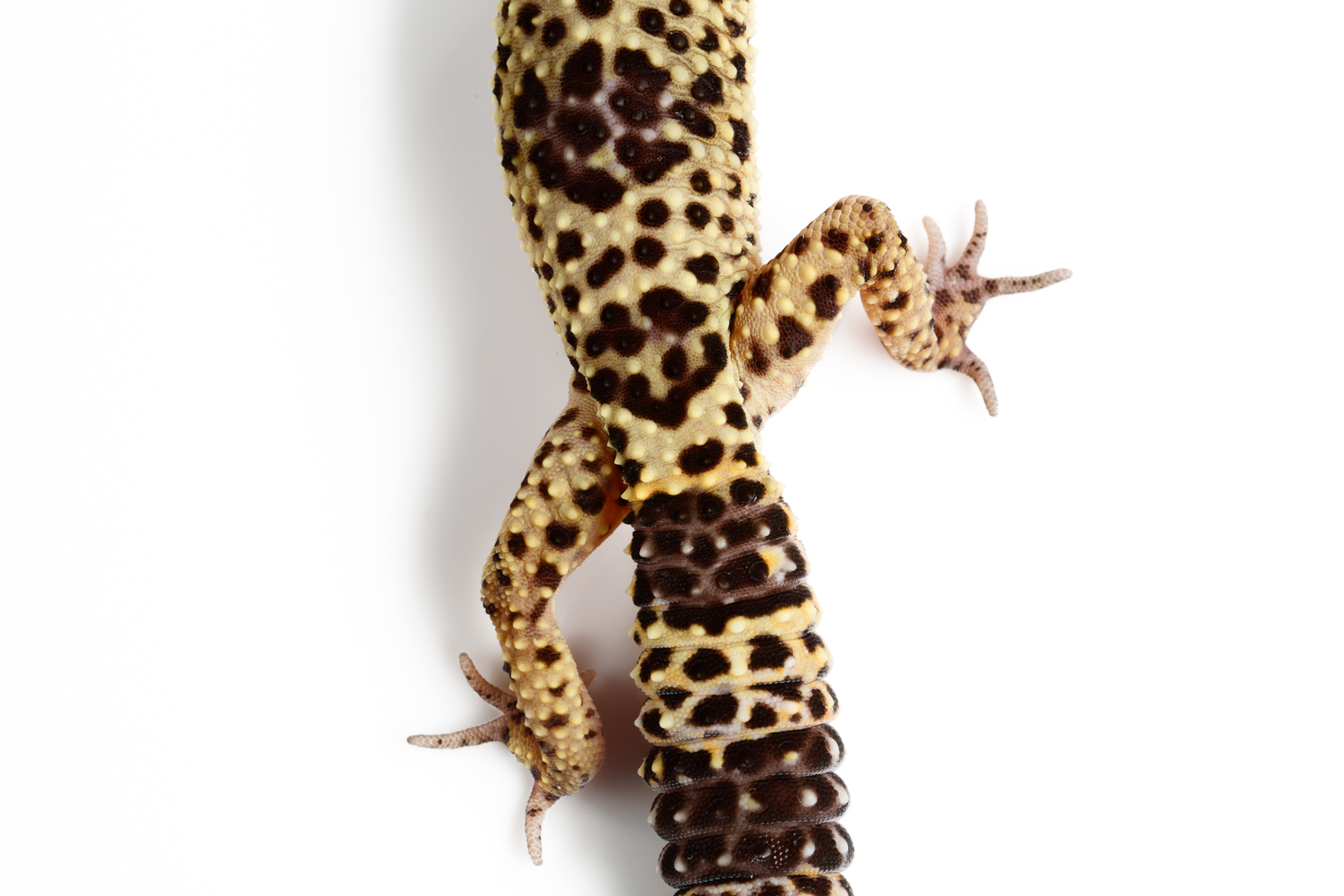 Leopard Geckos detail of tail