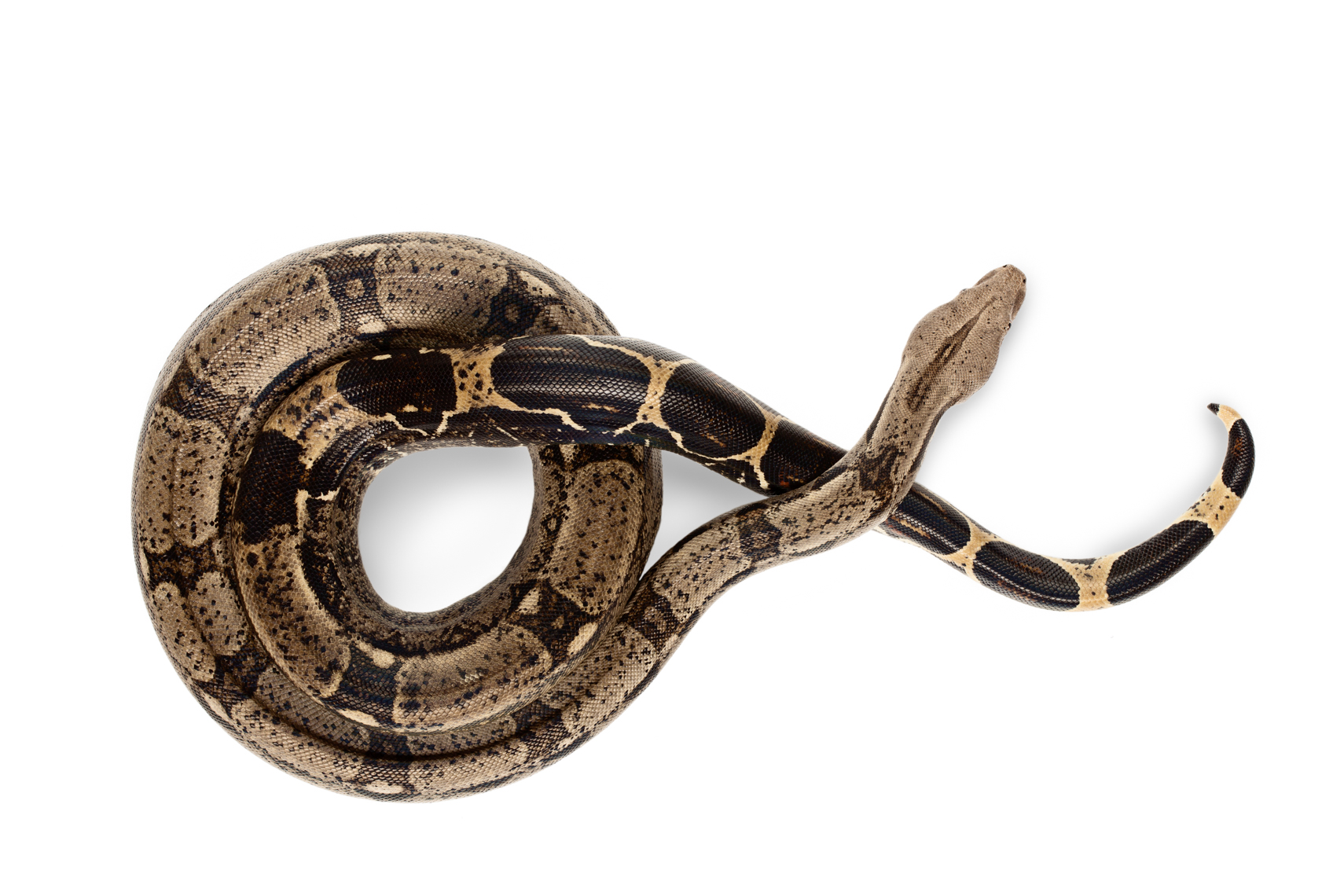 Columbian Red-Tailed Boa snake photographed from above