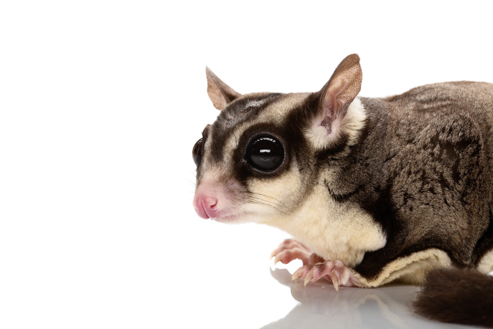 Sugar Glider close up