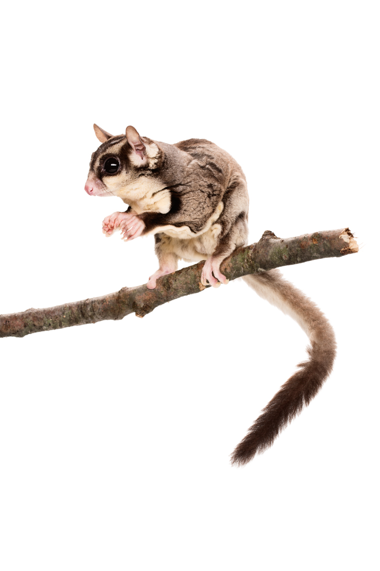 Sugar Glider on a limb