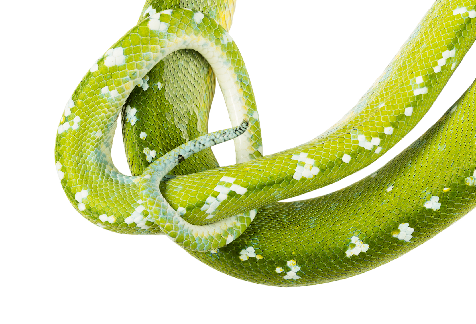 Green Tree Python tail detail