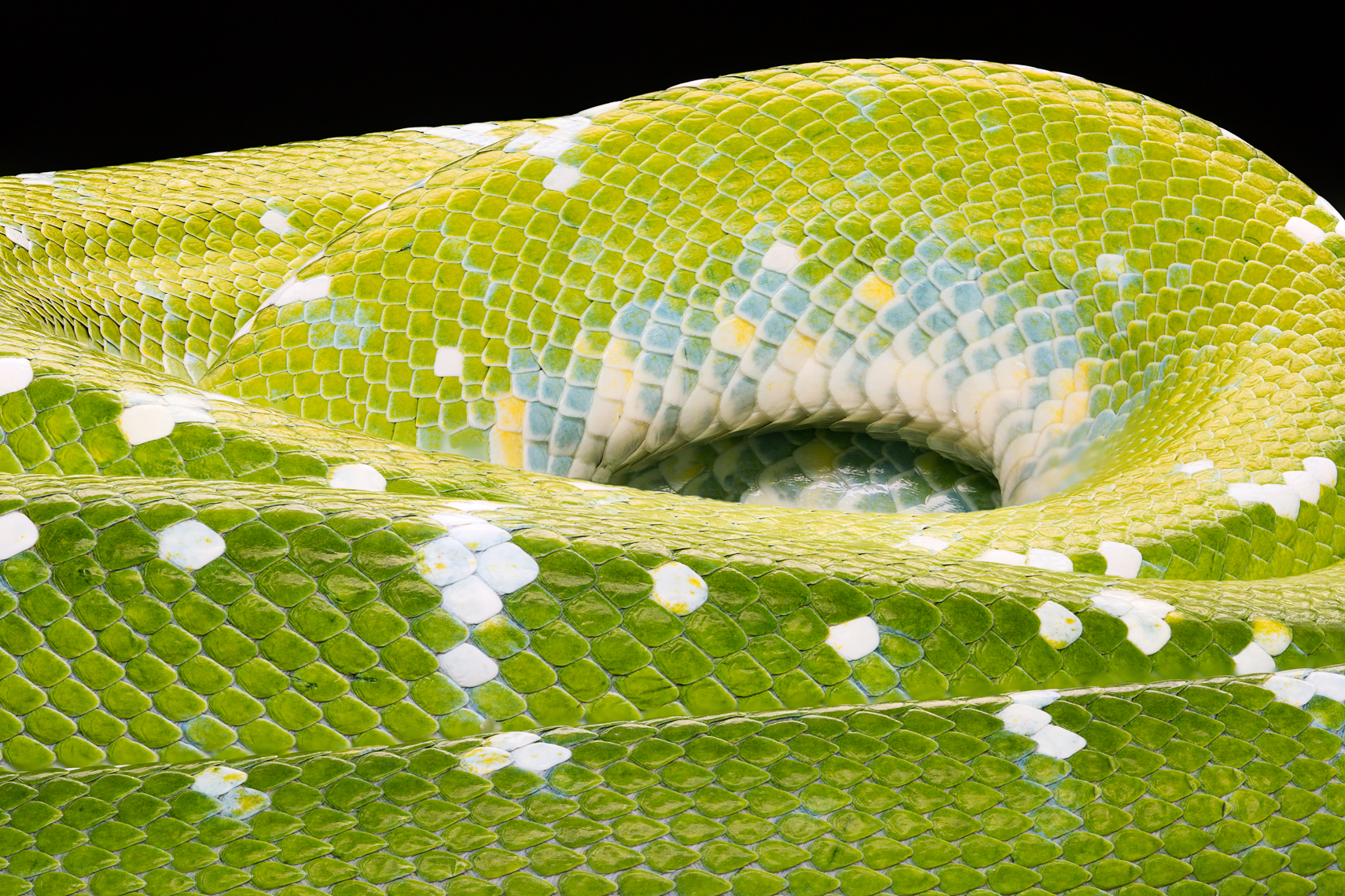 Detail of the Green Tree Python pattern