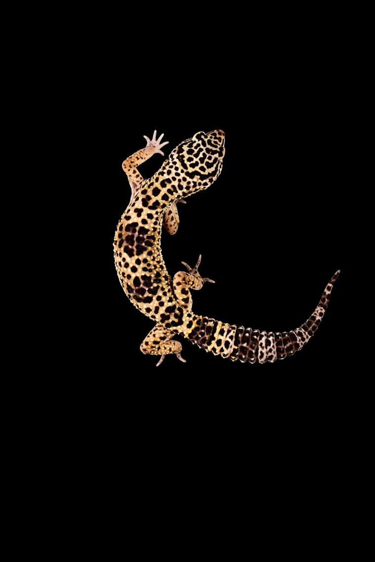 Leopard Gecko on black