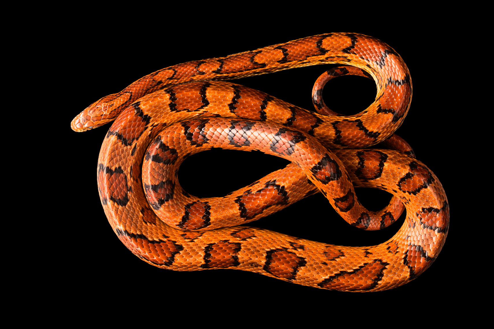 Orange Red Corn Snake
