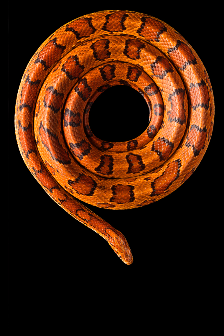 Beautiful Corn Snake in a photo studio