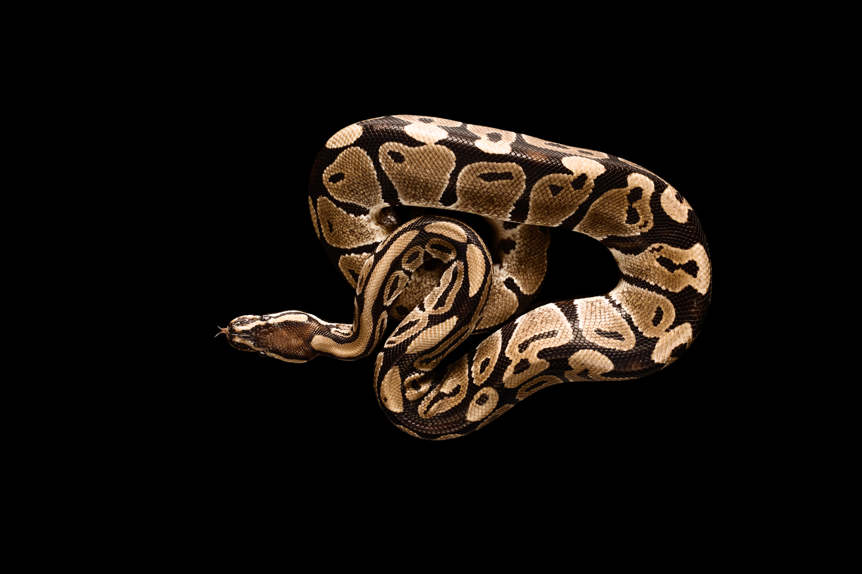 Ball Python snake in photography studio