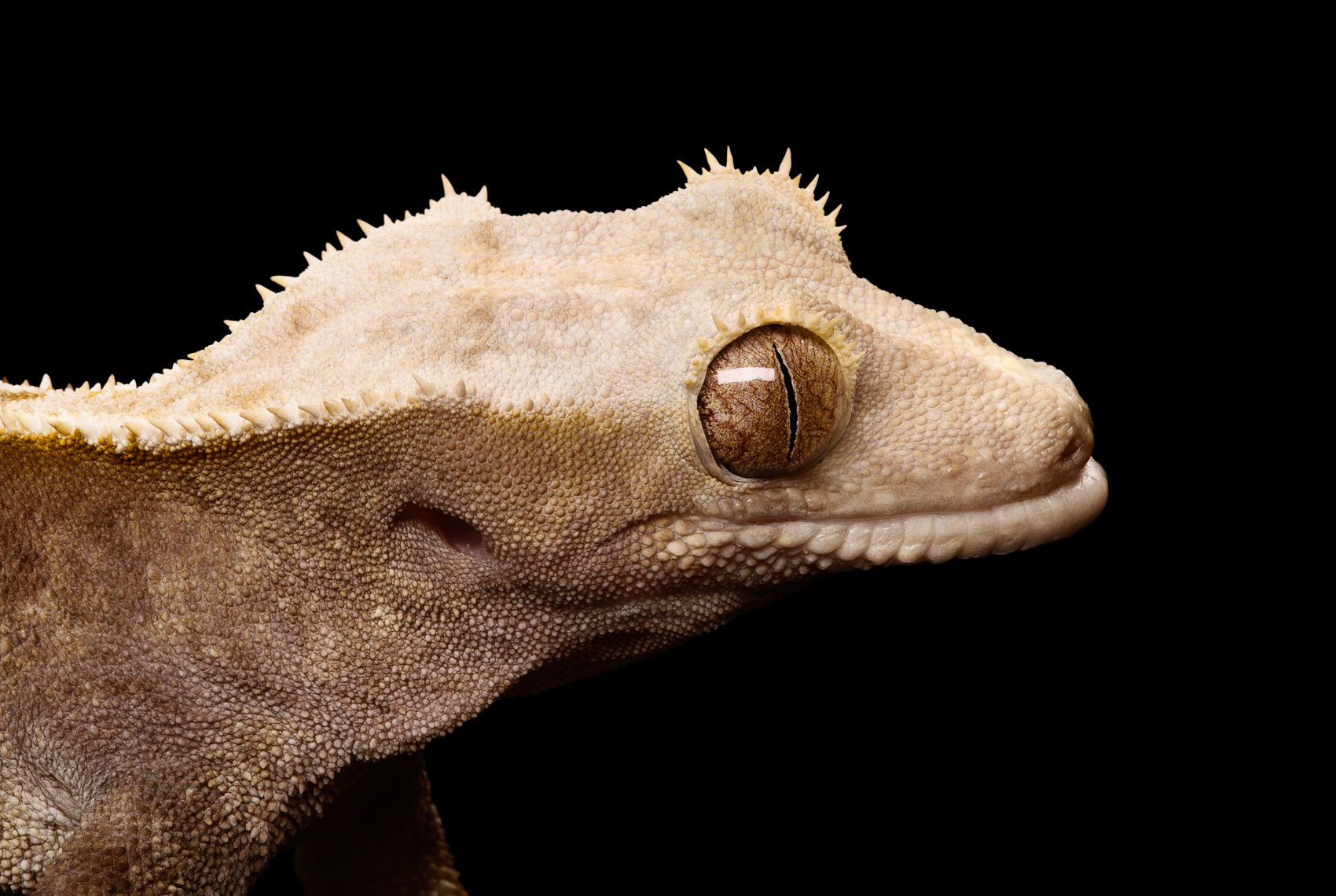 close up of Crested Gecko and detail of eye