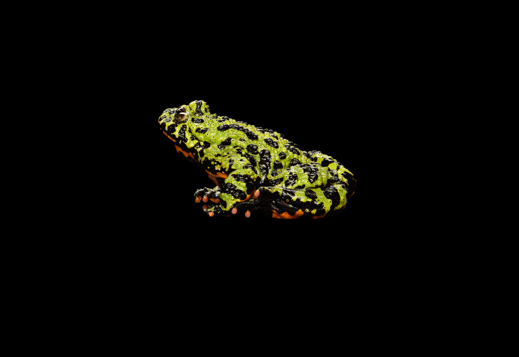 Fire-Bellied Toad profile