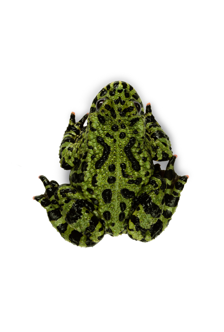 Fire-Bellied Toad on white from above