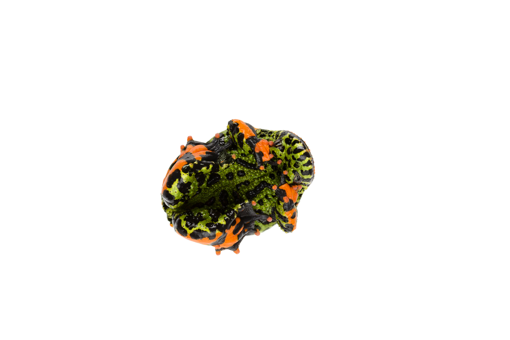 Defensive Fire-Bellied Toad
