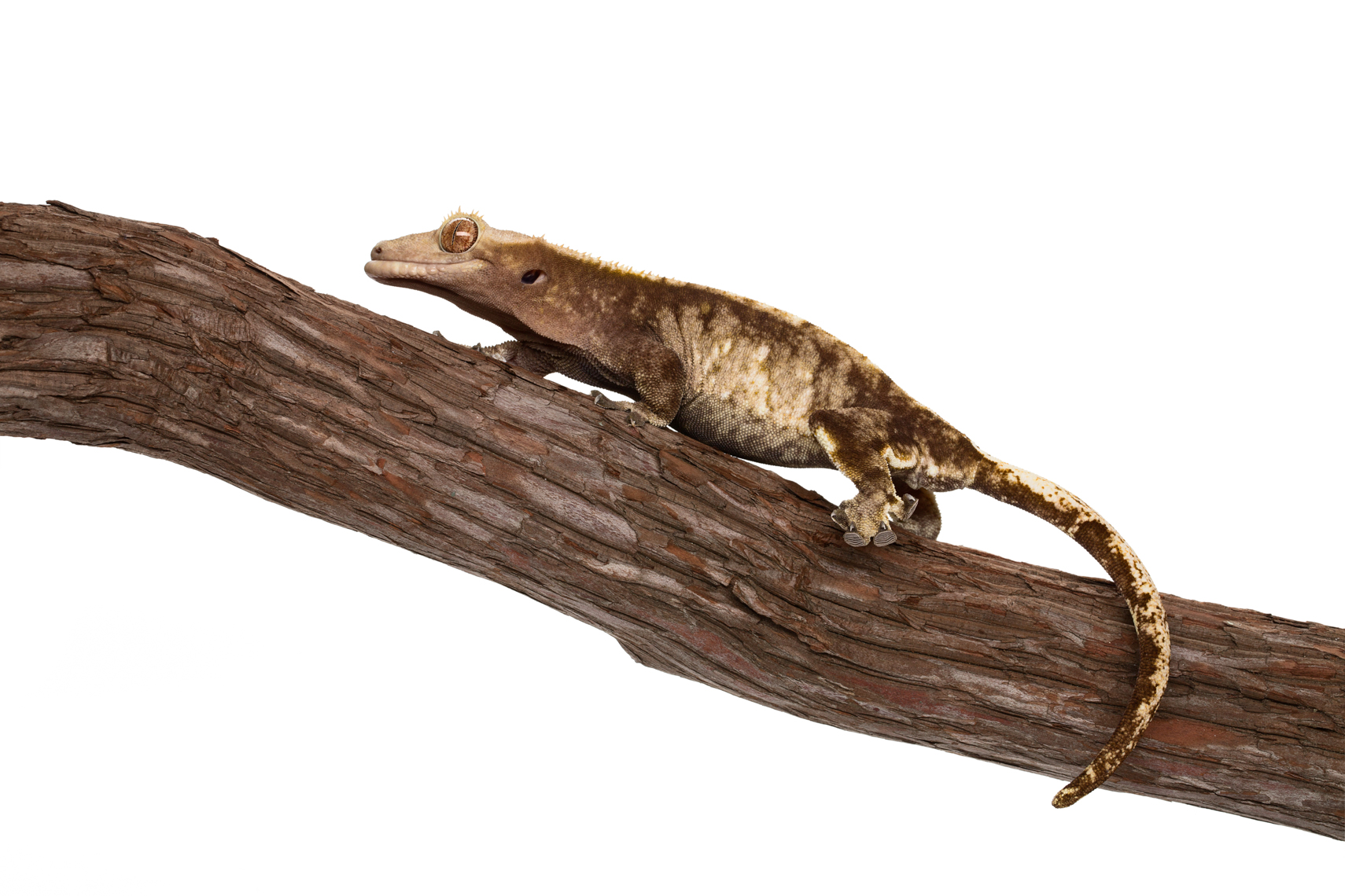 Crested Gecko climbing on tree